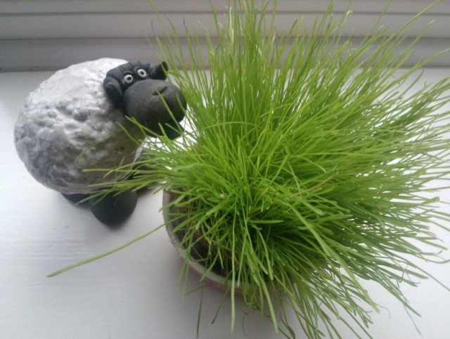 25th January 2014:  A lovely friend bought Norman some cat grass seeds at Christmas.  I dutifully grew them and...he wasn't at all interested.  Sheep was though.