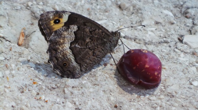 A snacking butterfly