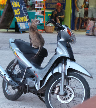 Moped riding cats are a normal sight over there ;)