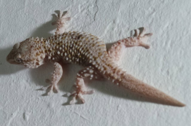 One of our geckos - he made noises like a small chicken