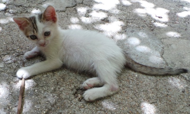 Hercules - a kitten who was abandoned in a bad state at around two weeks, but at 8 weeks was an excitable ball of fur